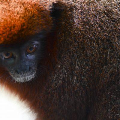 Mono titi Amazonas - Shwethashankar