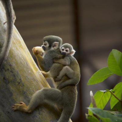 Monos-Amazonas